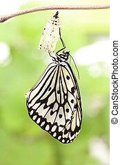 vlinder, pop, veranderen, vorm