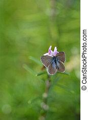vlinder, rapae, pieris, kleine, kool, witte