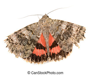 vlinder, rood, underwing