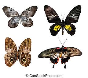 vlinder, veelkleurig