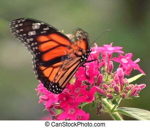 vlinder, vorst, (danaus, plexippus