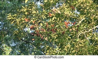 vlinder, vorst, migratie, groep