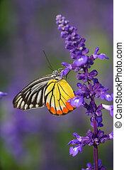 vlinder, vorst, tuin, lavendel
