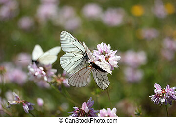 vlinder, wildflower, kroon, wikke, witte
