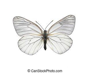 vlinder, witte , (aporia, crataegi), black-veined