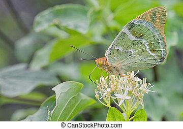 vlinder, zilver, fritillary, underwing, gewassen