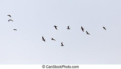 vlucht, hemel, vogels