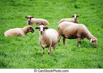 vlucht, van, schaap, op, groen gras