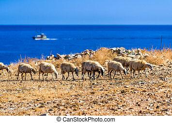 vlucht, van, sheeps, op, wei