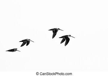 vlucht, vliegen, sandpipers, achtergrond, witte