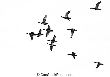 vlucht, vliegen, witte achtergrond, eenden