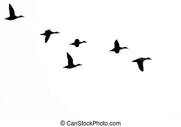vlucht, witte , silhouetted, achtergrond, eenden