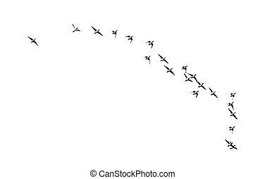 vlucht, witte , vogels, achtergrond