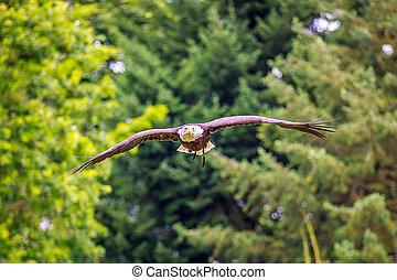 voando, arrojado, águia
