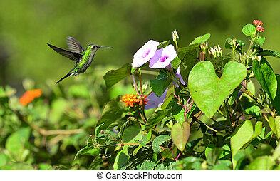 voando, cubano, esmeralda, hummingbird, (chlorostilbon, ricordii)