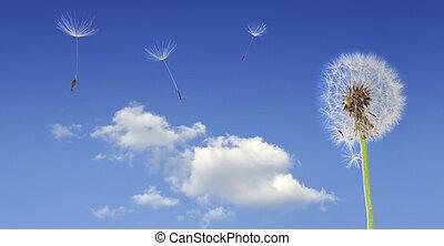voando, dandelion, sementes
