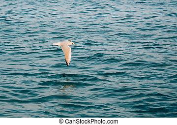 voando, gaivota, sobre, oceano azul, água mar