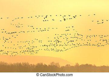 voando, gansos