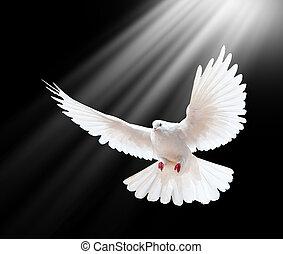 voando, isolado, livre, pretas, pombo branco