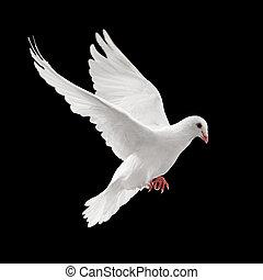 voando, pombo