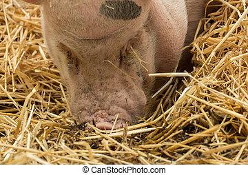 voedingsmiddelen, het kijken, stro, varken
