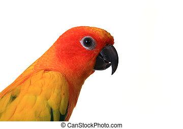voer schot aan, van, een, zonconure, vogel, op een tak