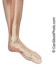 voet, anatomie, gespierd