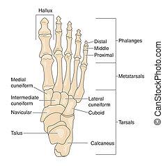 voet beent uit