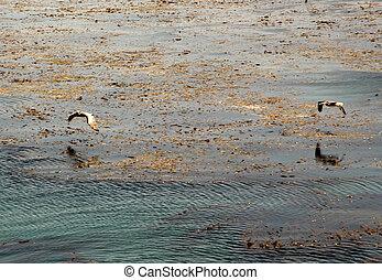 vogel- aufpassen, der, wasser, und, fangen, fischer