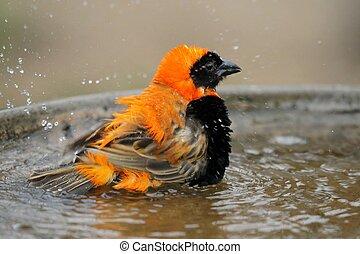vogel, het baden