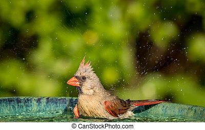 vogel, kardinaal, vrouwlijk, noordelijk, bad