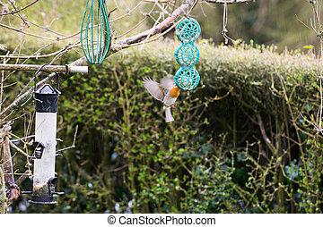 vogel, rotkehlchen, essende, kleingarten, zubringerlinie