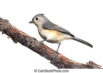 vogel, vrijstaand, op wit