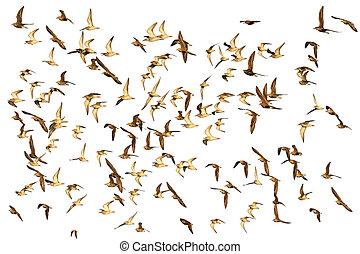 vogels, groot, achtergrond, wild, witte , vlucht