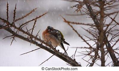 vogels, vink, (common, chaffinch)., winter., het sneeuwen