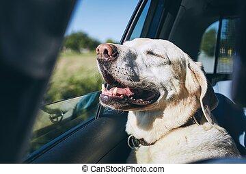 voiture, apprécier, chien, voyager