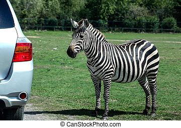 voiture, approches, parc, zebra, safari