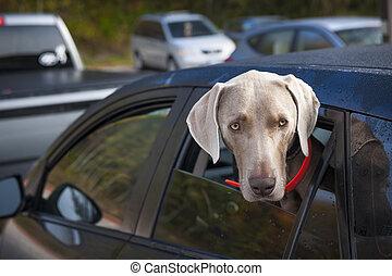voiture, attente, chien
