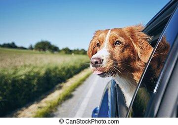 voiture, voyage, chien