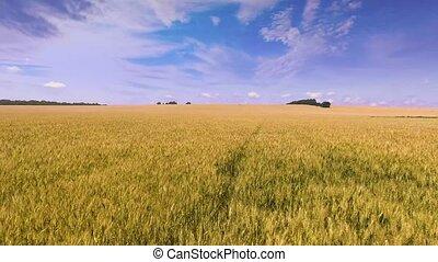 vol, été, sur, champ blé