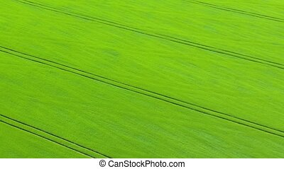 vol, blé vert, travers, champ