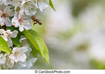 vol, cerise, floraison, arbre, abeille, miel, approchant