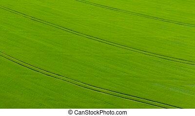 vol, champ, blé vert, travers