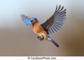 vol, oiseau bleu