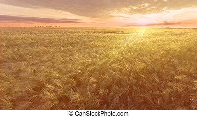 vol, sur, aerial., champ, blé, levers de soleil