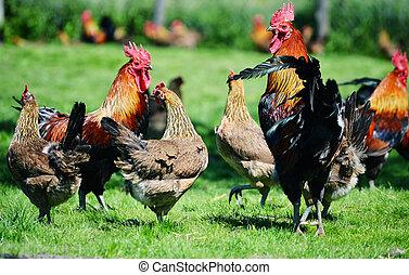volaille, ferme, poulets, gratuite, coq, traditionnel, gamme