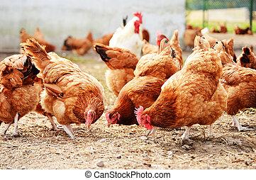 volaille, ferme, poulets, gratuite, traditionnel, gamme