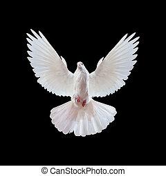 volare, isolato, libero, nero, colomba bianca