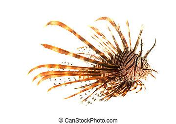 Volitan Lionfish (Pterois volitans) isolated on white...