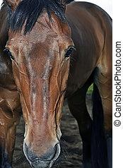 vollblut, pferd, porträt